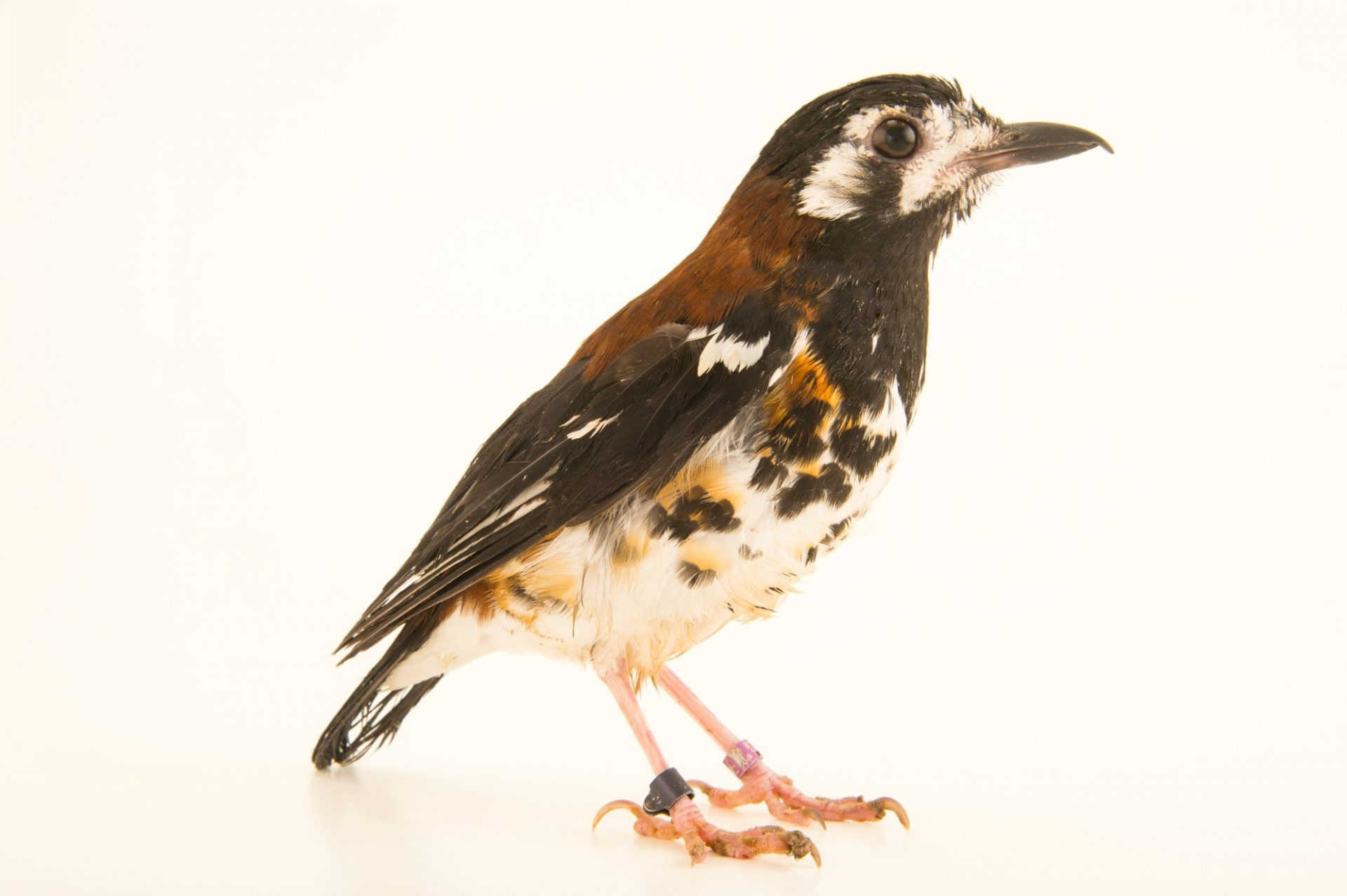 Photo: A Doherty`s thrush or chestnut-backed thrush (Zoothera dohertyi) from a private collection in Choussy, France.