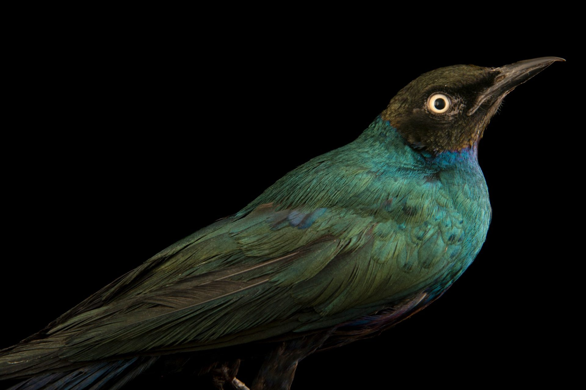 Photo: A long-tailed glossy starling (Lamprotornis caudatus) from a private collection in Choussy, France.
