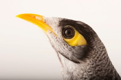 Photo: A noisy miner (Manorina melanocephala) at a private collection in Queensland, Australia.