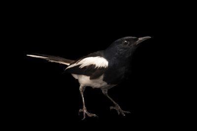 Photo: Magpie robin (Copsychus saularis musicus), at Zoo Negara.