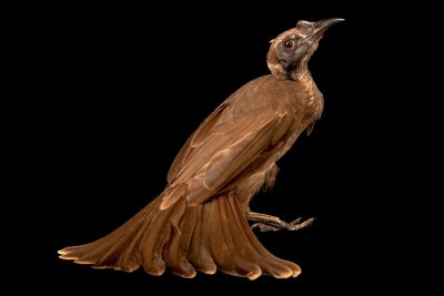 Photo: A helmeted friarbird (Philemon buceroides) at Bali Bird Park in Indonesia.