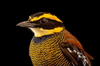 Photo: A Javan banded pitta (Hydrornis guajanus) at Bali Bird Park in Bali, Indonesia.