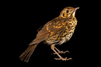 Photo: A juvenile song thrush (Turdus philomelos clarkei) at Hessilhead Wildlife Rescue.
