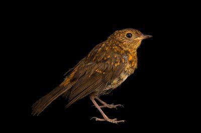 Photo: A juvenile European robin (Erithacus rubecula melophilus) at Hessilhead Wildlife Rescue.