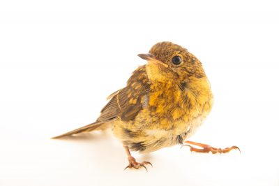 Photo: A juvenile European robin (Erithacus rubecula melophilus) at Hessilhead Wildlife Rescue.