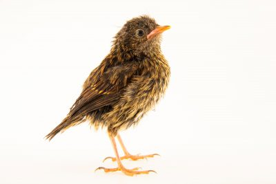 Photo: A two week old dunnock (Prunella modularis occidentalis) at Hessilhead Wildlife Rescue.