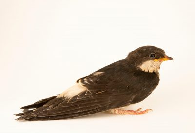 Photo: A common house martin (Delichon urbicum urbicum) at Hessilhead Wildlife Rescue.