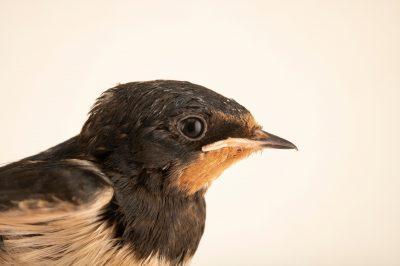 Photo: A barn swallow (Hirundo rustica rustica) at Hessilhead Wildlife Rescue.