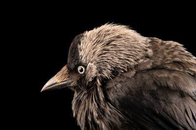 Photo: A jackdaw (Corvus monedula spermologus) at Hessilhead Wildlife Rescue.