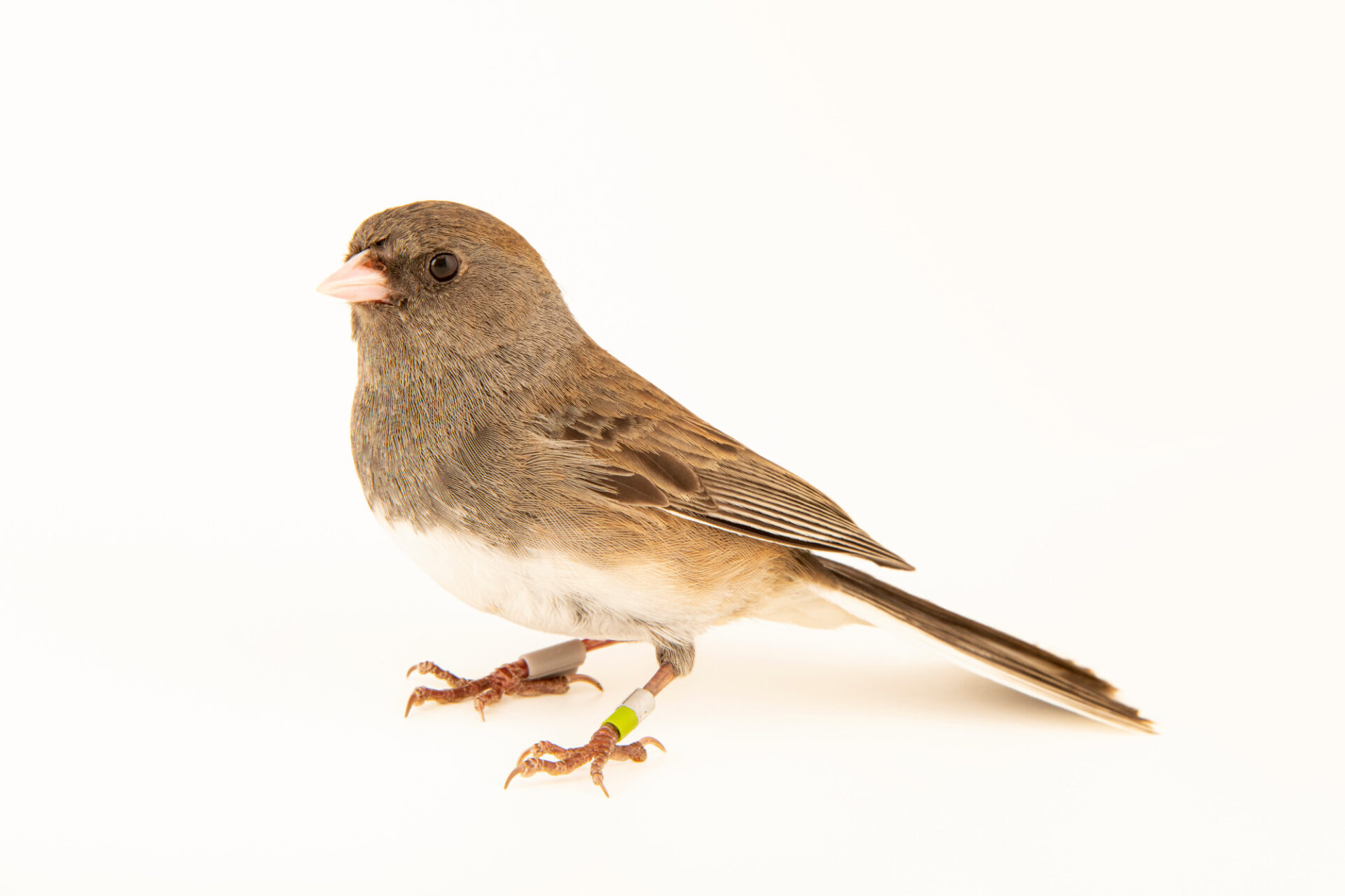 Photo: A slate-colored junco (Junco hyemalis) at the Akron Zoo.