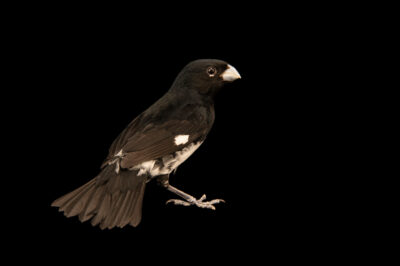 Photo: A black and white seedeater (Sporophila luctuosa) at the Zoo Berlin.