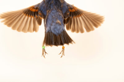 Photo: A male blue grosbeak (Passerina caerulea) at the Zoo Berlin.
