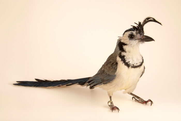 Photo: A white-throated magpie jay (Calocitta formosa pompata) at Wild Bird Rehabilitation Inc. in St. Louis, Missouri.