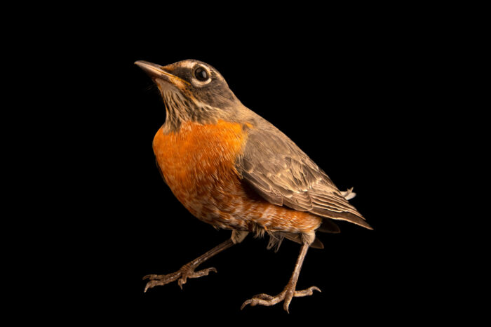 Photo: An American robin (Turdus migratorius migratorius) at Wild Bird Rehabilitation Inc. in St. Louis, Missouri.