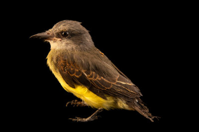 Photo: A juvenile tropical kingbird (Tyrannus melancholicus melancholicus) at the Membeca Lagos Farm, near Rio de Janeiro, Brazil.
