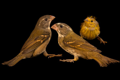 Photo: Two buffy-fronted seedeaters (Sporophila frontalis) and a saffron finch (Sicalis flaveola brasiliensis) at the Membeca Lagos Farm, near Rio de Janeiro, Brazil.