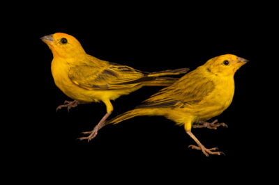 Photo: Two male saffron finches (Sicalis flaveola brasiliensis) at the Membeca Lagos Farm, near Rio de Janeiro, Brazil.
