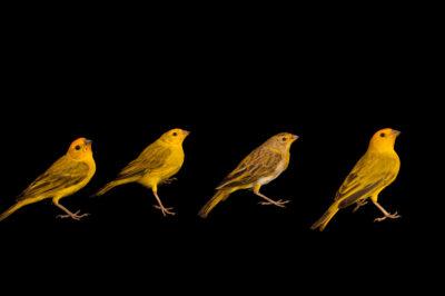 Photo: Saffron finches (Sicalis flaveola brasiliensis) at the Membeca Lagos Farm, near Rio de Janeiro, Brazil.