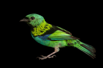 Photo: A green-headed tanager (Tangara seledon) at the Membeca Lagos Farm, near Rio de Janeiro, Brazil.