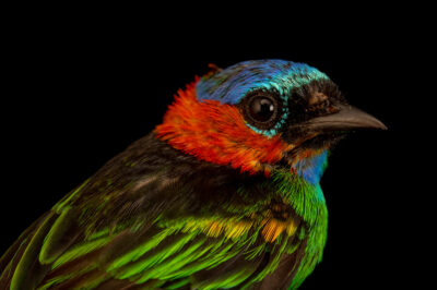 Photo: A red-necked tanager (Tangara cyanocephala cyanocephala) at the Membeca Lagos Farm, near Rio de Janeiro, Brazil.