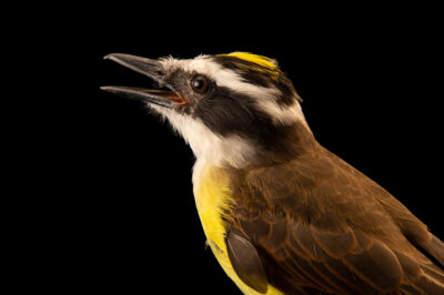 Photo: A great kiskadee (Pitangus sulfuratus maximiliani) at BioParque do Rio.