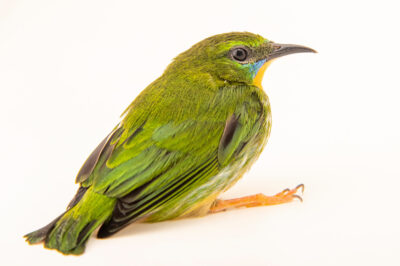 Photo: A female short-billed honeycreeper (Cyanerpes nitidus) at Zoopark Zajezd.