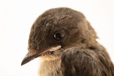 Photo: A juvenile northern rough-winged swallow (Stelgidopteryx serripennis serripennis) at the Wildlife Rehabilitation Center of Minnesota.