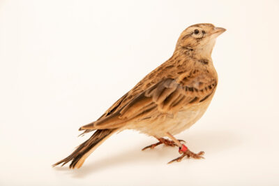 Photo: A greater short-toed lark (Calandrella brachydactyla longipennis) at Zoo Plzeň.