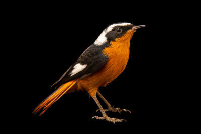 Photo: A Moussier's redstart (Phoenicurus moussieri) at Zoo Plzeň.