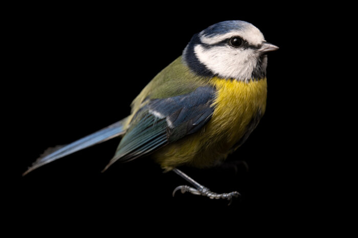Photo: A Eurasian blue tit (Cyanistes caeruleus) from the wild in the Czech Republic.