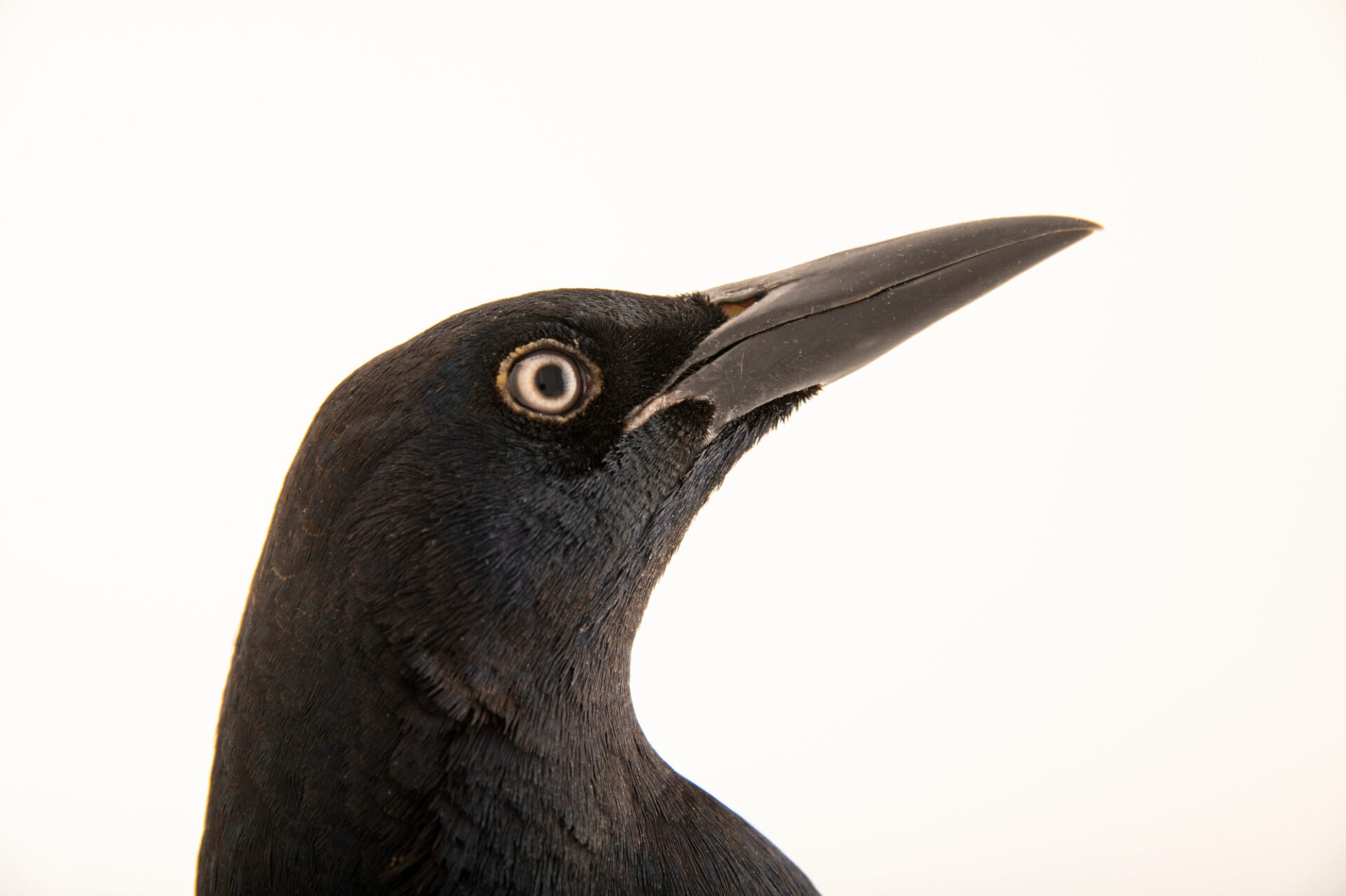 Photo: A great-tailed grackle (Quiscalus mexicanus prosopidicola) at Rogers Wildlife Rehabilitation in Hutchins, TX.