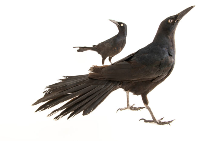 Photo: Two great-tailed grackles (Quiscalus mexicanus prosopidicola) at Rogers Wildlife Rehabilitation in Hutchins, TX.
