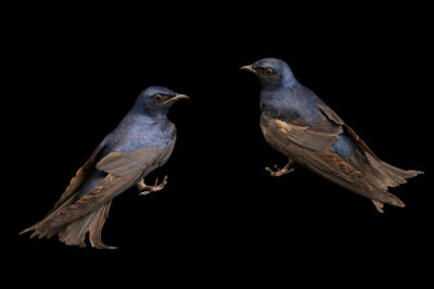 Photo: Two male purple martins (Progne subis subis) at Rogers Wildlife Rehabilitation in Hutchins, TX.