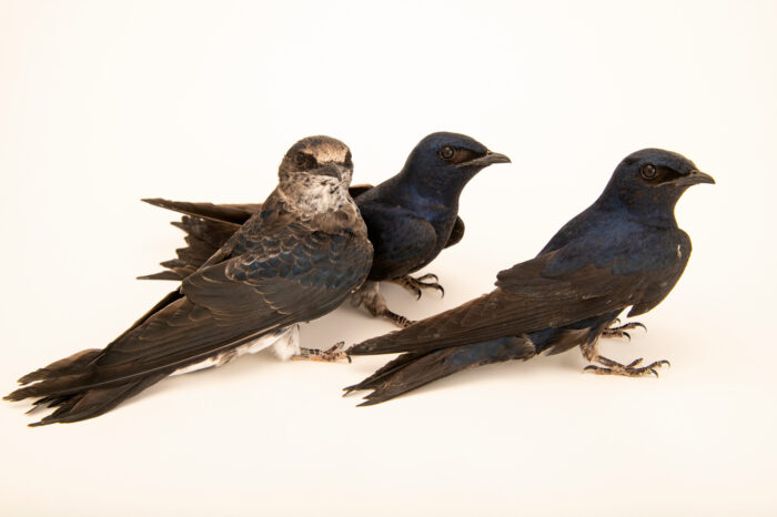 Photo: Three purple martins (Progne subis subis) at Rogers Wildlife Rehabilitation in Hutchins, TX. The males are all black and purple, while the female is much lighter.