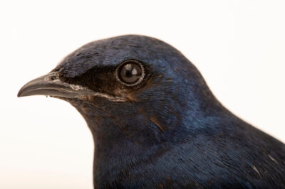 Photo: A male purple martin (Progne subis subis) at Rogers Wildlife Rehabilitation in Hutchins, TX.