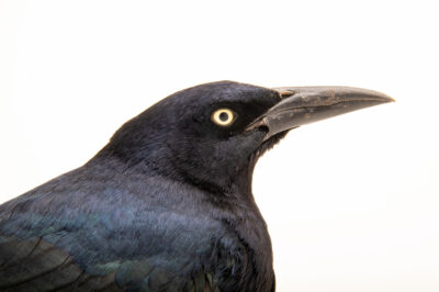 Photo: A male boat-tailed grackle (Quiscalus major major) at Rogers Wildlife Rehabilitation in Hutchins, TX.