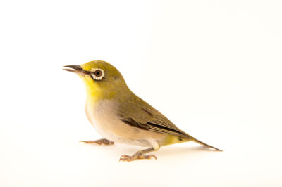 Photo: A male Japanese white-eye (Zosterops japonicus) from a private collection in St. Augustine, Florida.