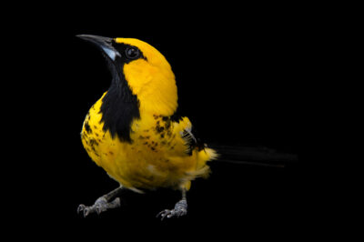 Photo: A female spot-breasted oriole (Icterus pectoralis) from a private collection in St. Augustine, Florida.