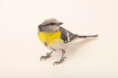 Photo: A male yellow-breasted tit (Cyanistes flavipectus) from a private collection in St. Augustine, Florida.