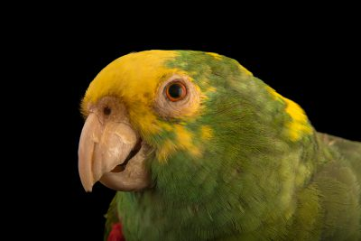 Photo: A Belize yellow headed amazon (Amazona oratrix belizensis) at the Jurong Bird Park.
