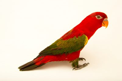 Photo: Chattering lory (Lorius garrulus) at Kamla Nehru Zoological Garden, Ahmedabad, India.
