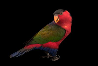 Picture of an eastern black-capped lory (Lorius lory erythrothorax) at Jurong Bird Park, part of Wildlife Reserves Singapore.