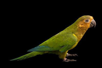 Picture of a brown-throated parakeet (Eupsittula pertinax arubensis) at Jurong Bird Park, part of Wildlife Reserves Singapore
