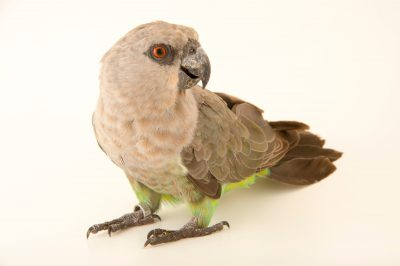 Photo: A female red-bellied parrot (Poicephalus rufiventris) at the San Antonio Zoo.