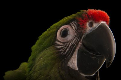 Photo: Mexican military macaw (Ara militaris mexicana) from Le Parc des Oiseaux in Villars Les Dombes, France.
