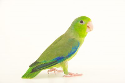 Photo: Pacific parrotlet (Forpus coelestis) from Le Parc des Oiseaux in Villars Les Dombes, France.