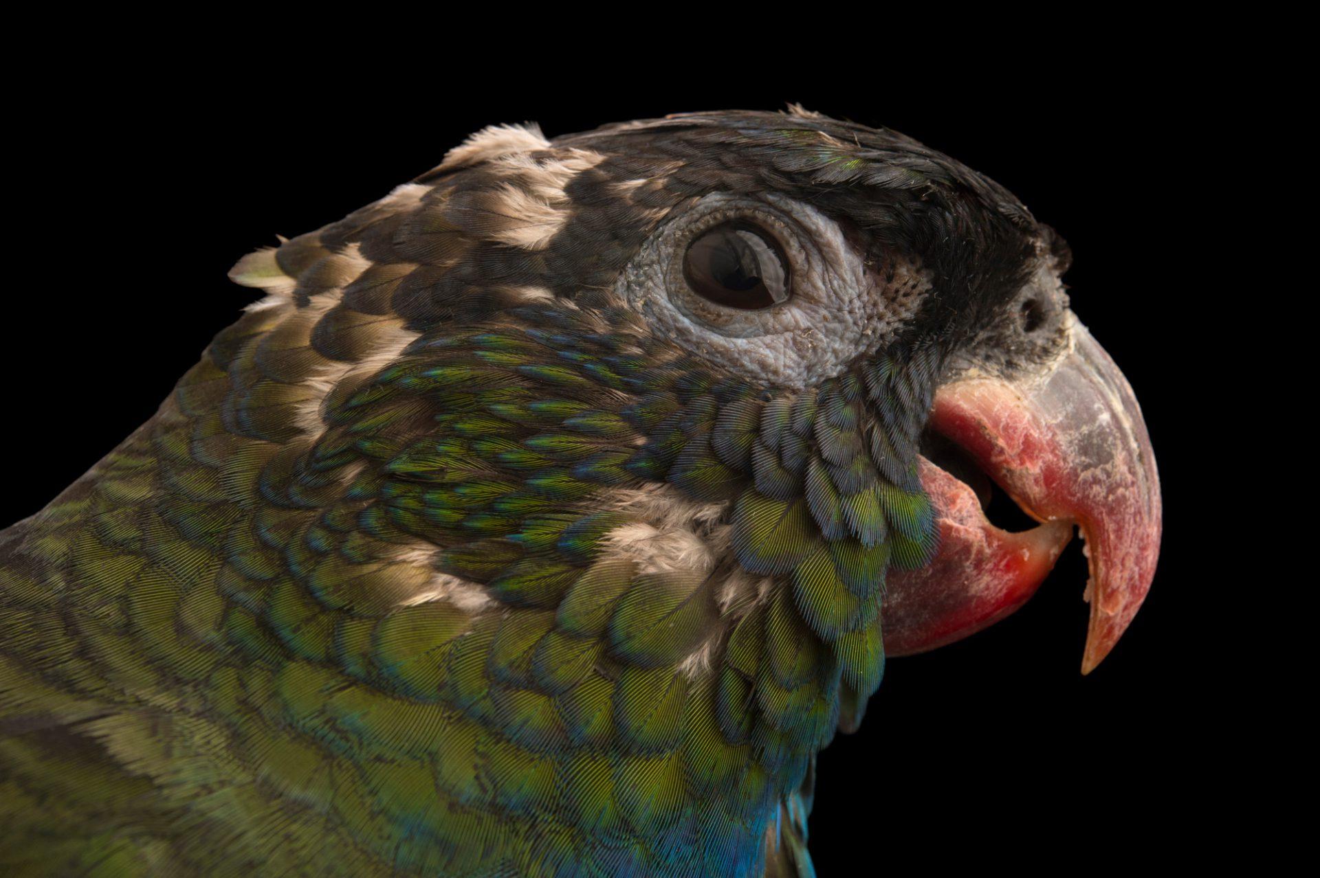 Photo: Red-billed parrot (Pionus sordidus) at Piscilago Zoo in Bogota, Colombia.