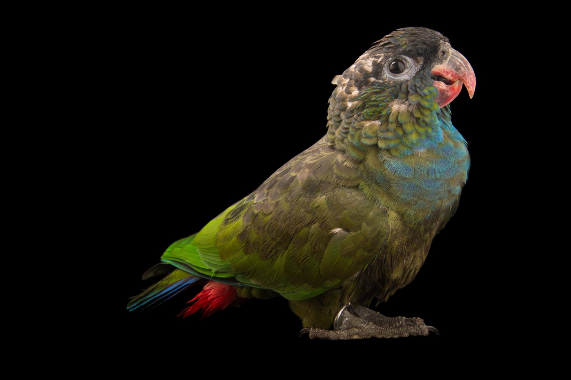 Photo: Red-billed parrot (Pionus sordidus) at Piscilago in Bogota, Colombia.