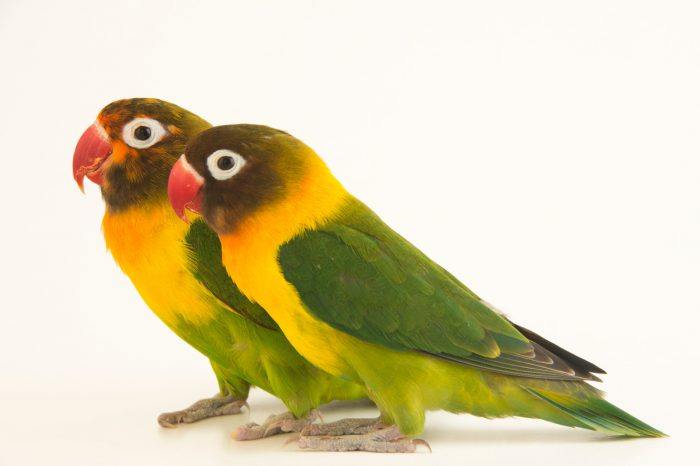 Yellow-collared lovebird (Agapornis personatus) at Piscilago Zoo in Bogota, Colombia.