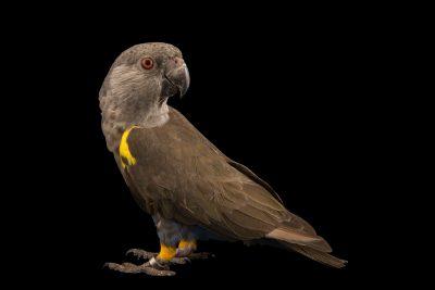 Photo: A RuppellÕs parrot (Poicephalus rueppellii) at the Jurong Bird Park.